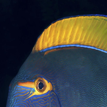 Eyestripe surgeonfish or Poisson Chirurgien à oeil rayé (Acanthurus dussumieri). Coral Sea - Copyright © 2015 Melissa Fiene Photography. All rights reserved....