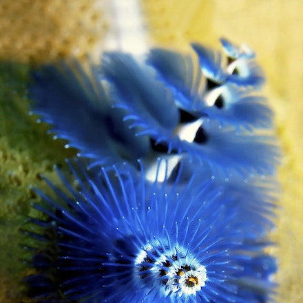 Christmas Tree Worm, Coral Sea - Copyright © 2015 Melissa Fiene Photography. All rights reserved. All images created by Melissa Fiene are © Melissa Fiene...