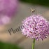 IMG_7102 Bee on Allium Flower