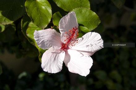 9 - Hibiscus