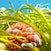 Wandering anemone