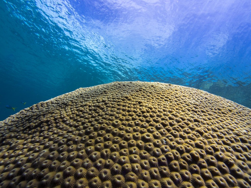 Giant Star Coral - Massive star coral head sits as a crown jewel on the Rao Island Reef