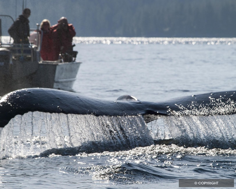 Up Close & Personal - People photographing humpback whale from skiff, near Princess Royal Island, British Columbia, Canada