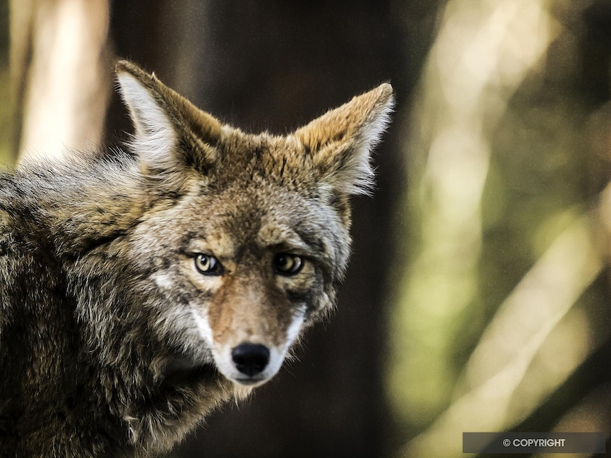 Coyote Stare - Coyote portrait, Yosemite National Park, California