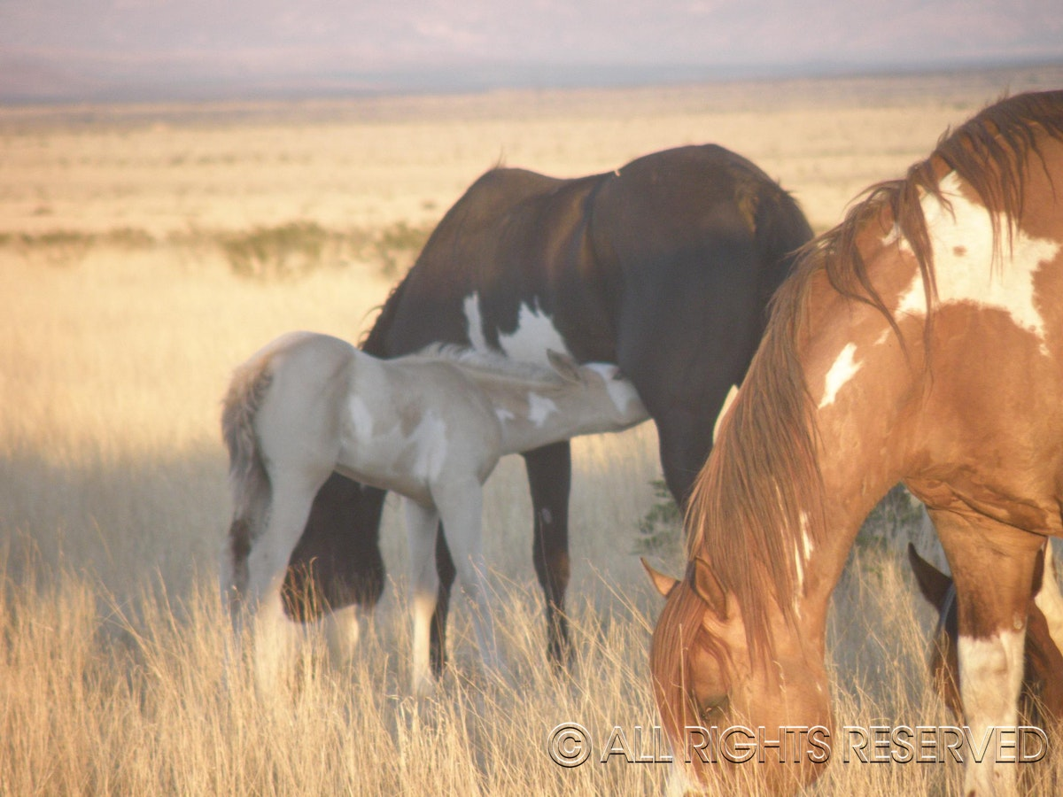 A Family of Wild Horses - Mom,Baby and Dad!! The little one is very hungry as Mom and Dad graze!!