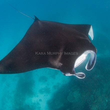 Manta ray - A manta ray swims off Lady Elliot Island, Great Barrier Reef, Australia.