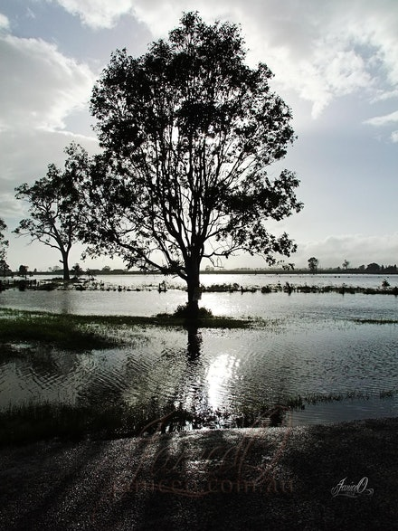 After the Rain - Tree surrounded by receding flood waters in the Lockyer Valley, January 2011. Early morning