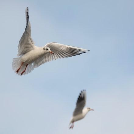 Gull play