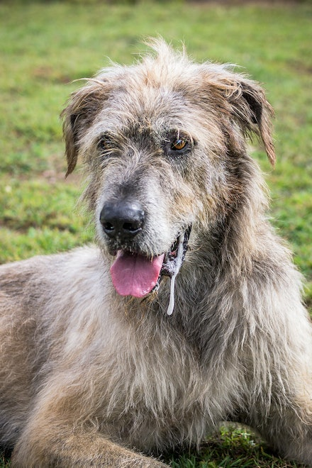 Mordaunt - Irish Wolf Hound - Mordaunt is an Irish Wolf Hound owned and loved by Natasja. 