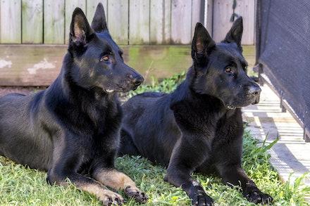 Soulseekers Chuck & Leafield Asa - Puppies are expected from Soulseekers Chuck and Leafield Asa in March 2018