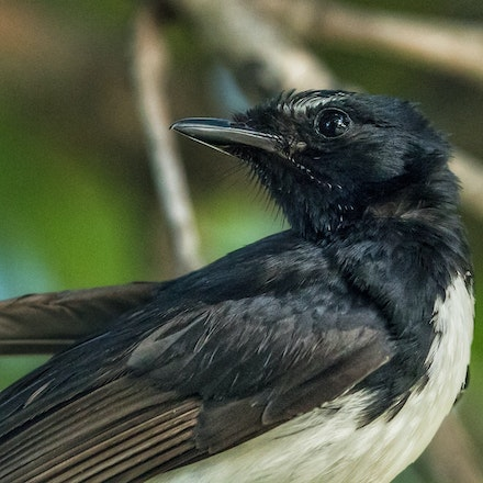 Willy wagtail, Rhipidura leucophrys - Willy wagtail, Rhipidura leucophrys