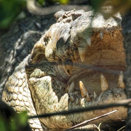 Bungeye - Crocodile, Crocodiles,  Crocodylus porous , crocodilian , saltie, reptiles , estuarine crocodile