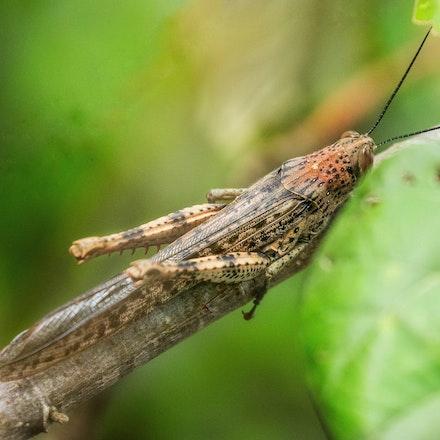 Giant Grasshopper, spotted morph,  Valanga irregularis - Giant Grasshopper, spotted morph,  Valanga irregularis  , insects , grasshopper