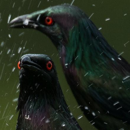 Metallic Starling, Aplonis metallica - Metallic Starling, Aplonis metallica, birds of the wet tropics,  starlings