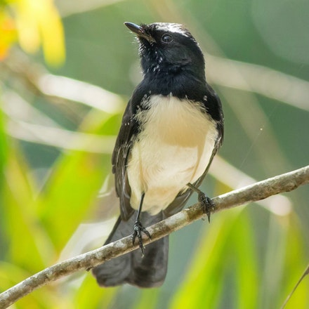Willy wagtail, Rhipidura leucophrys - (press for more images) Willy wagtail, Rhipidura leucophrys