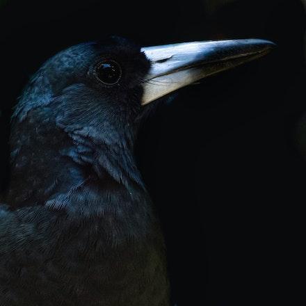 Black Butcherbird,  Melloria quoyi, Kurkunbay (kuku-Ylanji) - Black Butcherbird,  Melloria quoyi,Kurkumby (kuku-Ylanji)