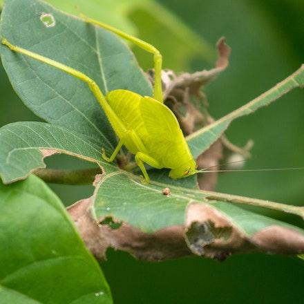 A subadult Serrated Bush Katydid (Paracaedicia serrata) - A subadult Serrated Bush Katydid (Paracaedicia serrata) , insects , wet tropics, katydids